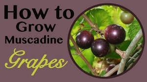 how to grow muscadine grapes the survival gardener