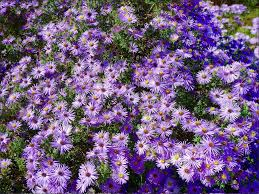 san francisco native plants plant of the year