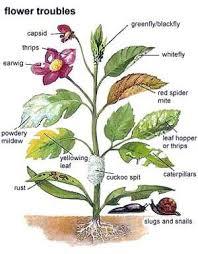 Types Of Plant Disease - garden mints