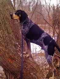 bluetick coonhound names bluetick coonhound puppy ember from backwoods blueticks in polk
