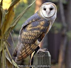 What Does A Barn Owl Look Like Owls Of New York
