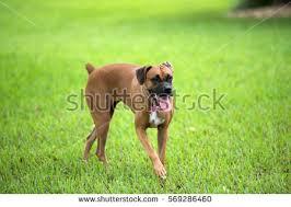 boxer dog female beautiful brown female boxer dog stock photo 569286460 shutterstock