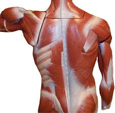 Anatomy And Physiology Of The Back Ap 1 Classroom Models