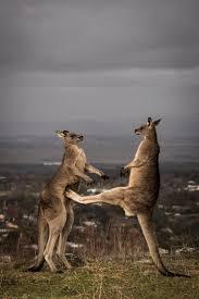 best 25 kangaroos ideas on pinterest kangaroo australia