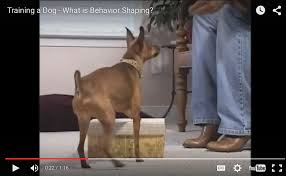 belgian malinois 101 youtube before and afters why they u0027re a powerful tool for dog trainers
