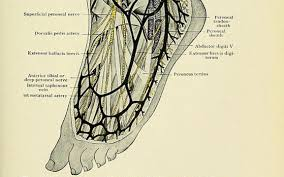 Foot Anatomy Nerves Arterial Supply Of The Lower Limb The Lecturio Medical Online