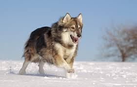 american eskimo dog calgary baby wolf dog breeds dog breeds puppies training of wolf dog breeds