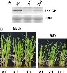 Viral Disease In Plants Page 489 A Signaling Cascade From Mir444 To Rdr1 In Rice Antiviral Rna