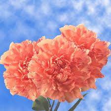 carnations flowers beautiful orange carnation flowers global