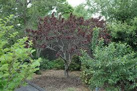 bonfire ornamental prunus persica bonfire in