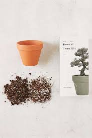 miniature indoor bonsai pine tree grow kit outfitters