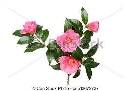camellia flowers camellia flowers and foliage crimson camellia williamsii stock