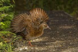 weka new zealand birds online