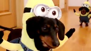 dachshunds dress as minions from u0027despicable me u0027 franchise today com