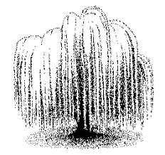 weeping willow photo etching weeping willows