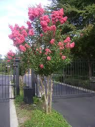 buy flowering trees in ta brandon apollo riverview
