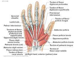 Tendon Synovial Sheath Le 11 1 Biceps Brachii Torque And Movement Brachioradialis