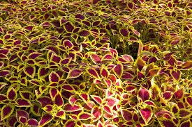 ornamental shrubs stock photo image of bush perennial 47508110