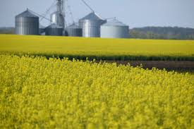 how local canola crops are grown judyschickens