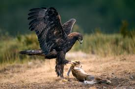 hares birds eagles hunting animals