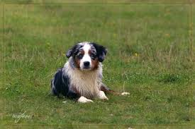 australian shepherd akc akc mini and others page 2 the aussie board