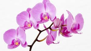 purple orchids purple orchids 471 wallpaper themes collectwall