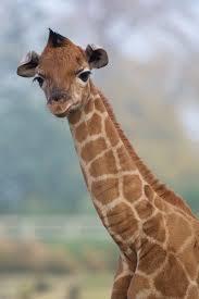 november birth animal rothschild giraffe born at dublin zoo zooborns