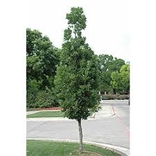 quercus oak shade ornamental trees outdoor living