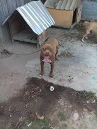 american pitbull terrier apbt cachorros american pit bull terrier apbt 1 600 00 en mercado