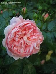 plantfiles pictures hybrid tea rose large flowered climbing rose