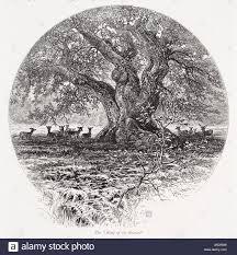 Oak Tree Drawing Queen Oak Tree Stock Photos U0026 Queen Oak Tree Stock Images Alamy