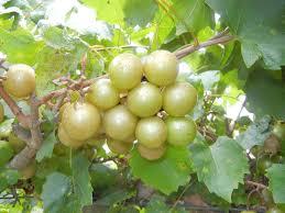 tara muscadine ison u0027s nursery u0026 vineyard