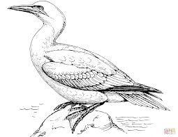 northern gannet coloring page free printable coloring pages