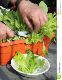 cutting lettuce from indoor container royalty free stock photo