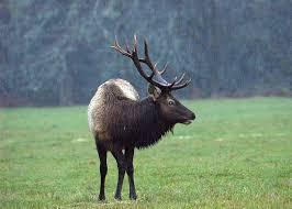 Oregon wild animals images File flickr oregon department of fish wildlife 1759 bull elk jpg