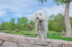 bichon frise long legs dog photography why you want photos of your dog spates pet