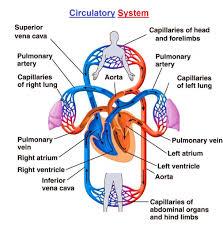 Abdominal Anatomy Quiz Circulatory System Anatomy Quiz Human Anatomy Library