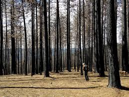 after fires in west mushroom hunters u0027chase the burn u0027 the salt