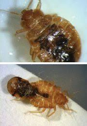bed bug sheddings bed bug supplement shedding light on igrs and be pct pest