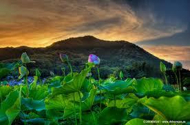 Lotus Flower In Muddy Water - deloprojet lotus flower viewing in japan kanrensetsu