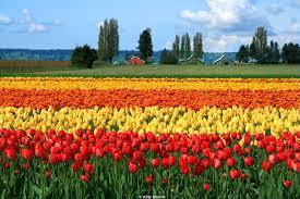 tulip festival map skagit valley tulip festival