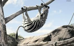 zebra in a tree hd wallpaper