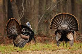 Alabama wildlife images Turkey hunting in alabama jpg