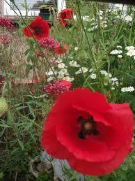 flowers poppies sweetpeas u0026 sunflowers a life less simple