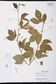 native plants of alabama passiflora incarnata species page isb atlas of florida plants