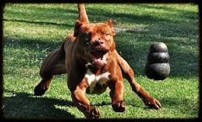 ukc american pitbull terrier chocolate red nose american pit bull terrier working males