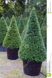 yew taxus baccata plants stock photo image 30639500