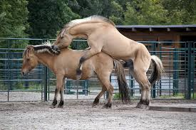 mustangs mating free mating images pictures and royalty free stock photos