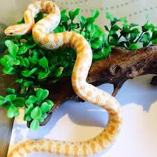 merak albino reptile rangers exotic pets johor home facebook