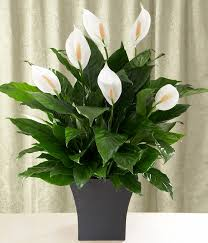peace plant peace care tips proflowers